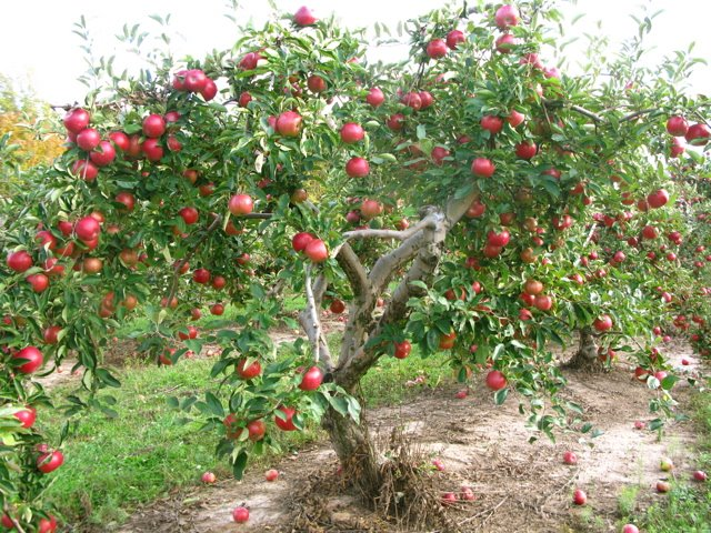 Pictures Of Fuji Apple Trees In State Of Texas 121